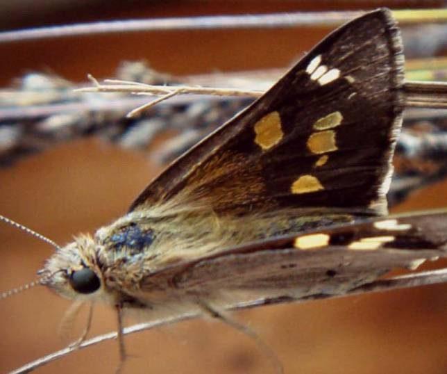 Yellowish Sedge Skipper Butterfly
