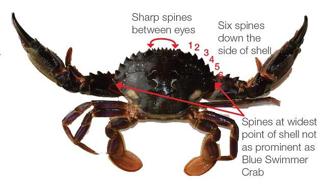 Asian Paddle Crab